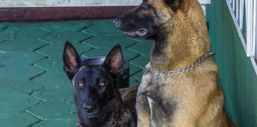 Two police dogs